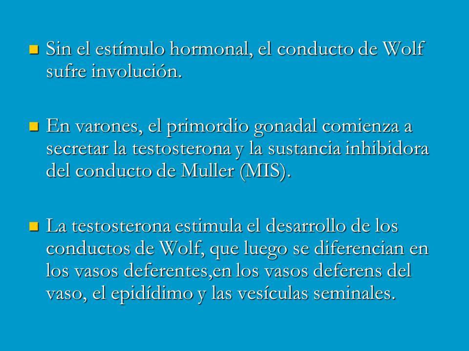 Sin el estímulo hormonal, el conducto de Wolf sufre involución.
