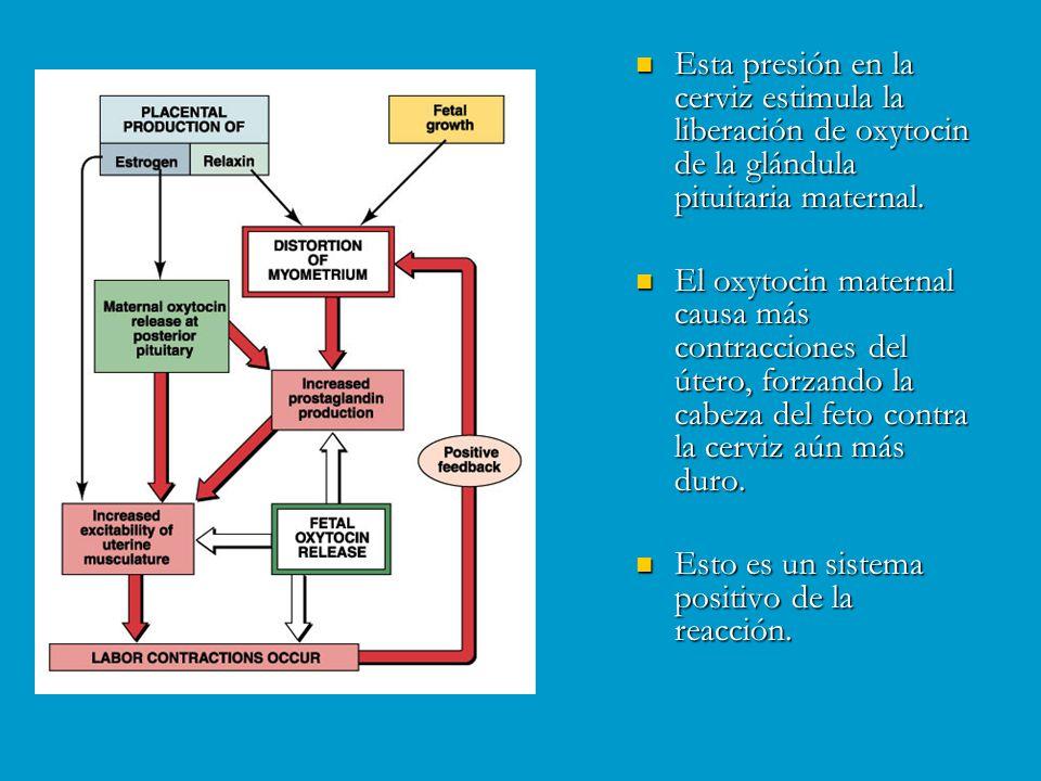 Esta presión en la cerviz estimula la liberación de oxytocin de la glándula pituitaria maternal.