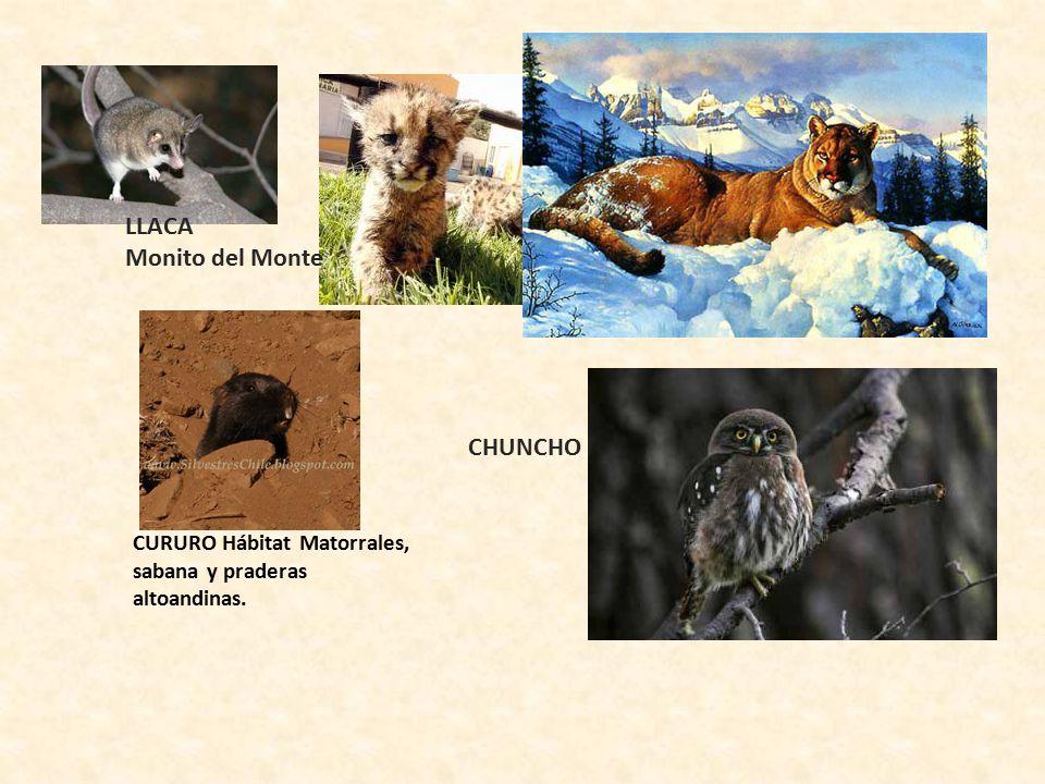 LLACA Monito del Monte CHUNCHO