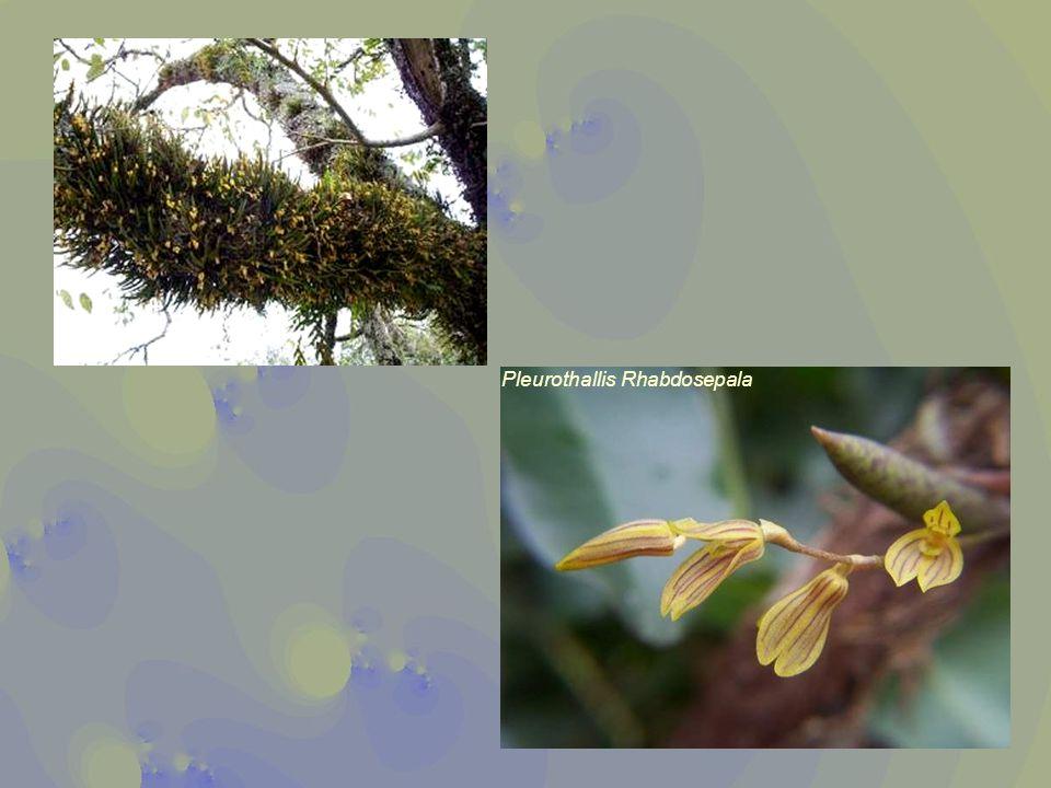 Pleurothallis Rhabdosepala