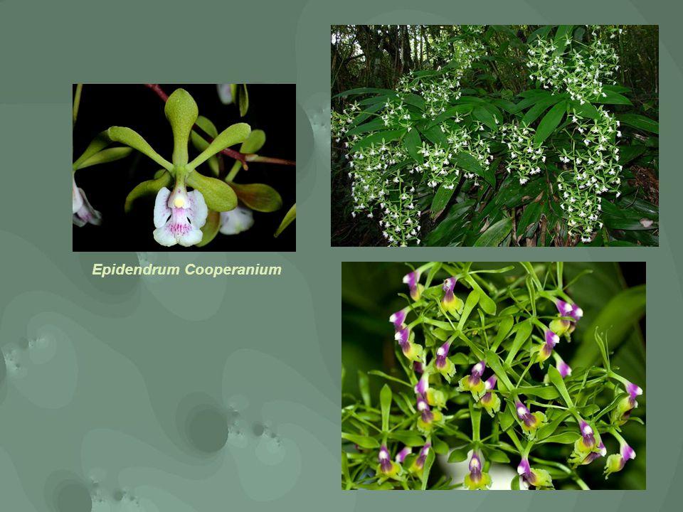 Epidendrum Cooperanium