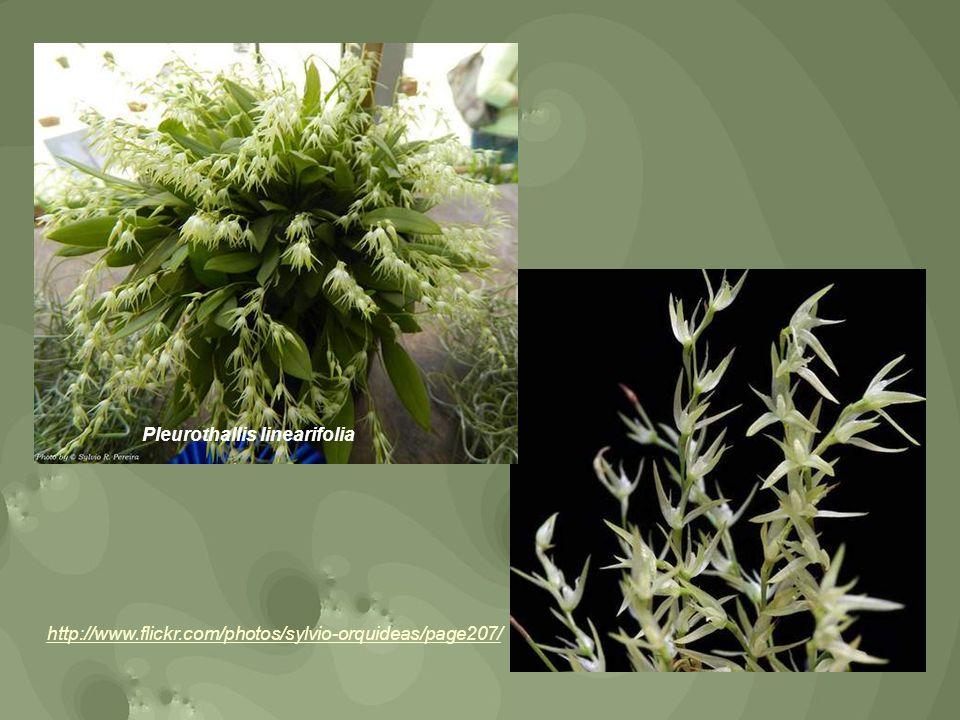 Pleurothallis linearifolia