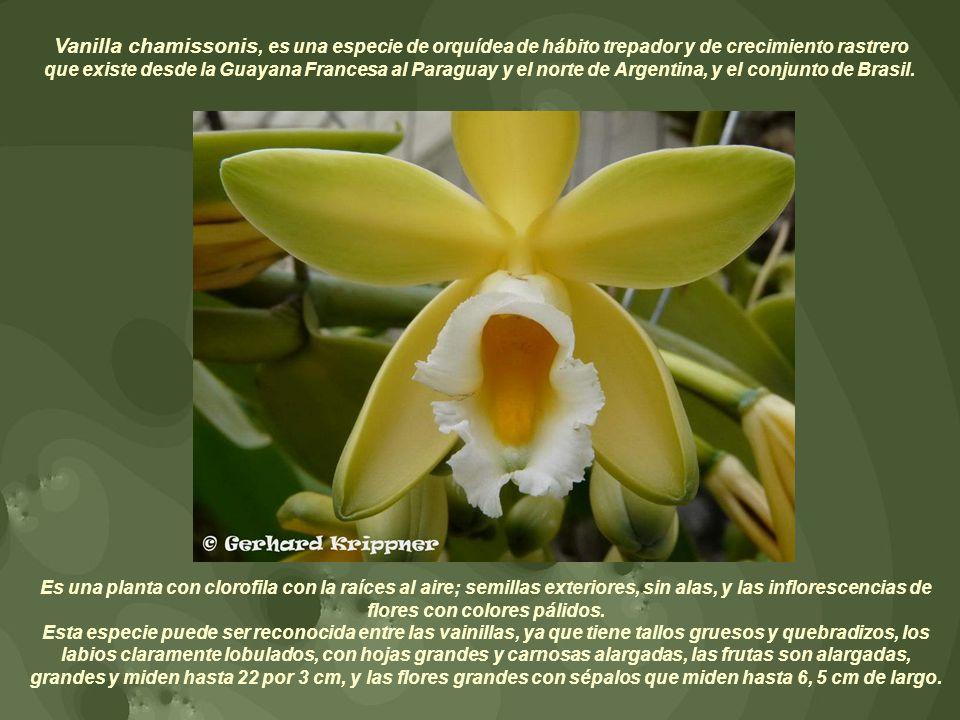 Vanilla chamissonis, es una especie de orquídea de hábito trepador y de crecimiento rastrero que existe desde la Guayana Francesa al Paraguay y el norte de Argentina, y el conjunto de Brasil.