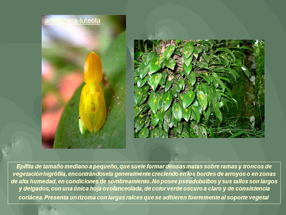 acianthera-luteola