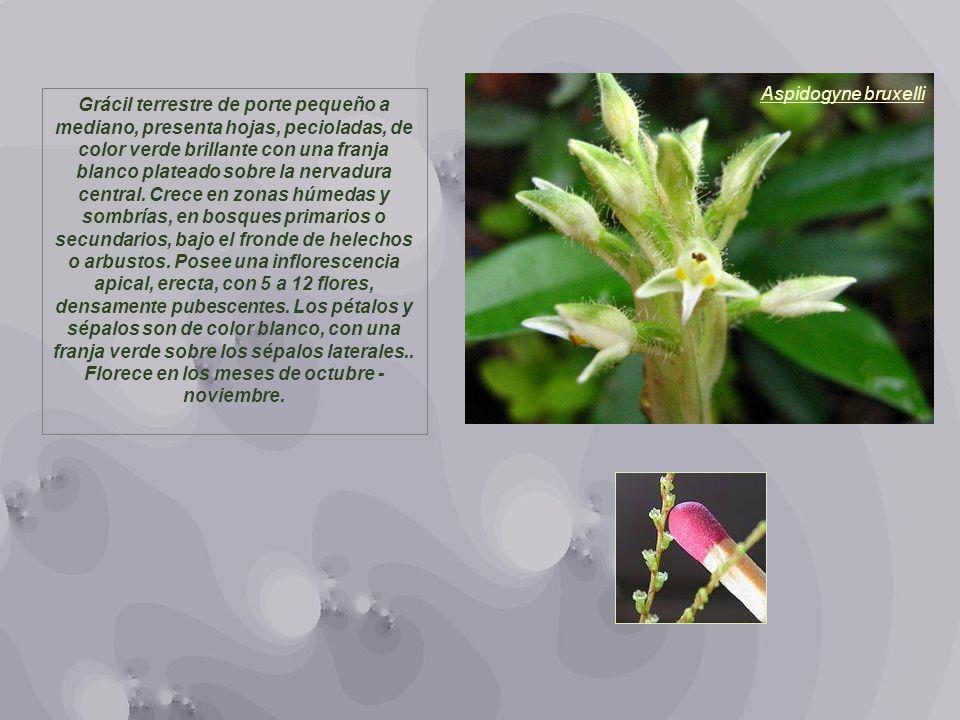 Aspidogyne bruxelli