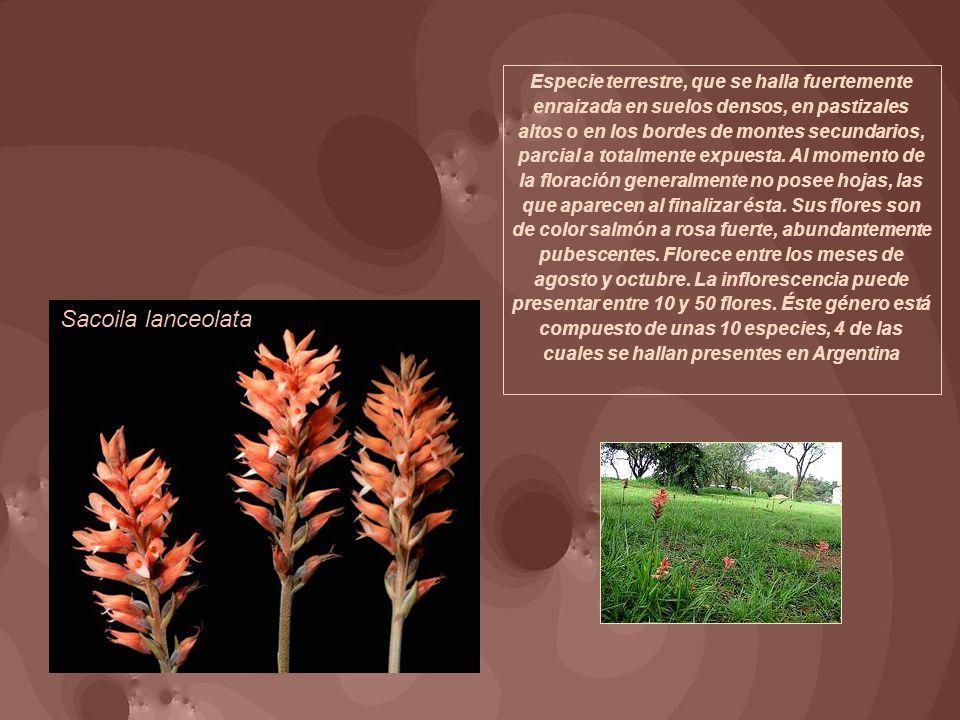 Especie terrestre, que se halla fuertemente enraizada en suelos densos, en pastizales altos o en los bordes de montes secundarios, parcial a totalmente expuesta. Al momento de la floración generalmente no posee hojas, las que aparecen al finalizar ésta. Sus flores son de color salmón a rosa fuerte, abundantemente pubescentes. Florece entre los meses de agosto y octubre. La inflorescencia puede presentar entre 10 y 50 flores. Éste género está compuesto de unas 10 especies, 4 de las cuales se hallan presentes en Argentina