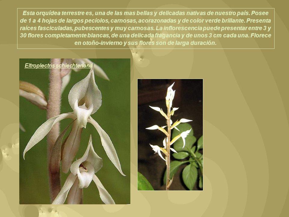 Esta orquídea terrestre es, una de las mas bellas y delicadas nativas de nuestro país. Posee de 1 a 4 hojas de largos pecíolos, carnosas, acorazonadas y de color verde brillante. Presenta raíces fasciculadas, pubescentes y muy carnosas. La inflorescencia puede presentar entre 3 y 30 flores completamente blancas, de una delicada fragancia y de unos 3 cm cada una. Florece en otoño-invierno y sus flores son de larga duración.