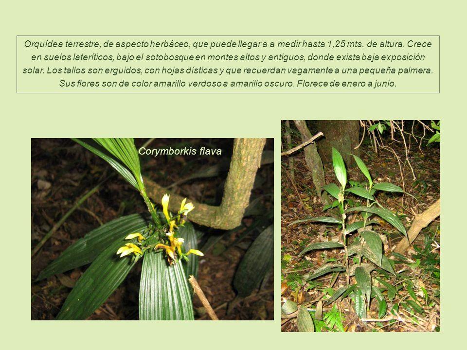 Orquídea terrestre, de aspecto herbáceo, que puede llegar a a medir hasta 1,25 mts. de altura. Crece en suelos lateríticos, bajo el sotobosque en montes altos y antiguos, donde exista baja exposición solar. Los tallos son erguidos, con hojas dísticas y que recuerdan vagamente a una pequeña palmera. Sus flores son de color amarillo verdoso a amarillo oscuro. Florece de enero a junio.