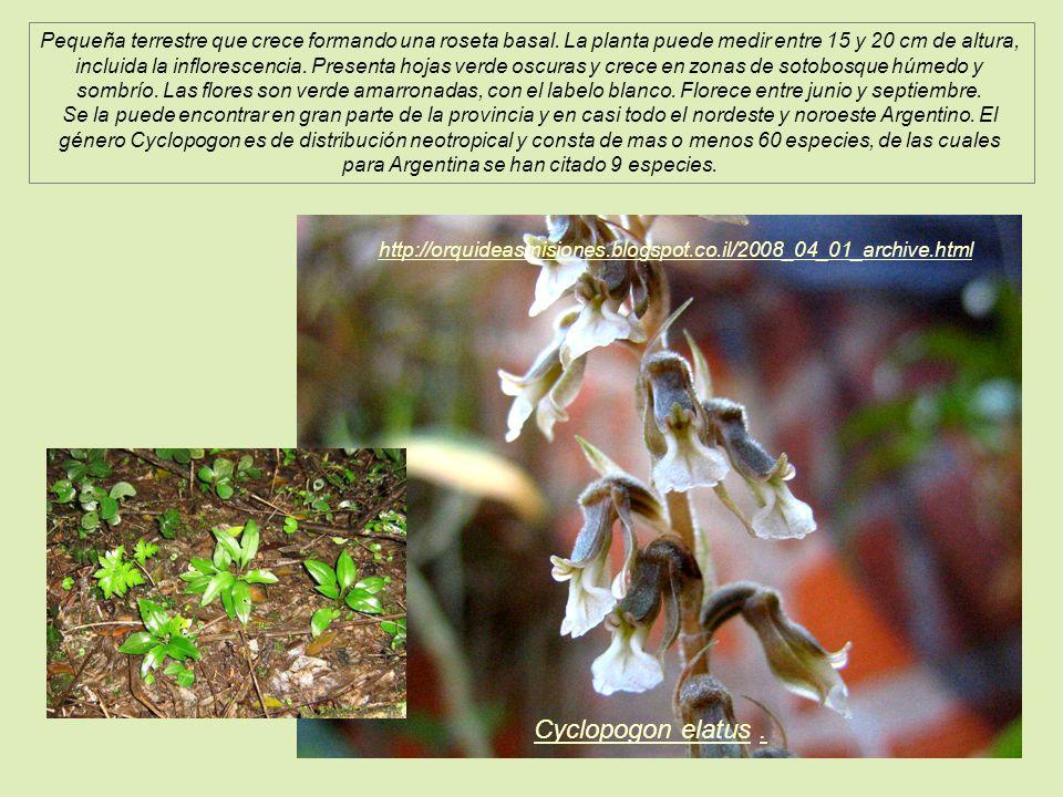 Pequeña terrestre que crece formando una roseta basal
