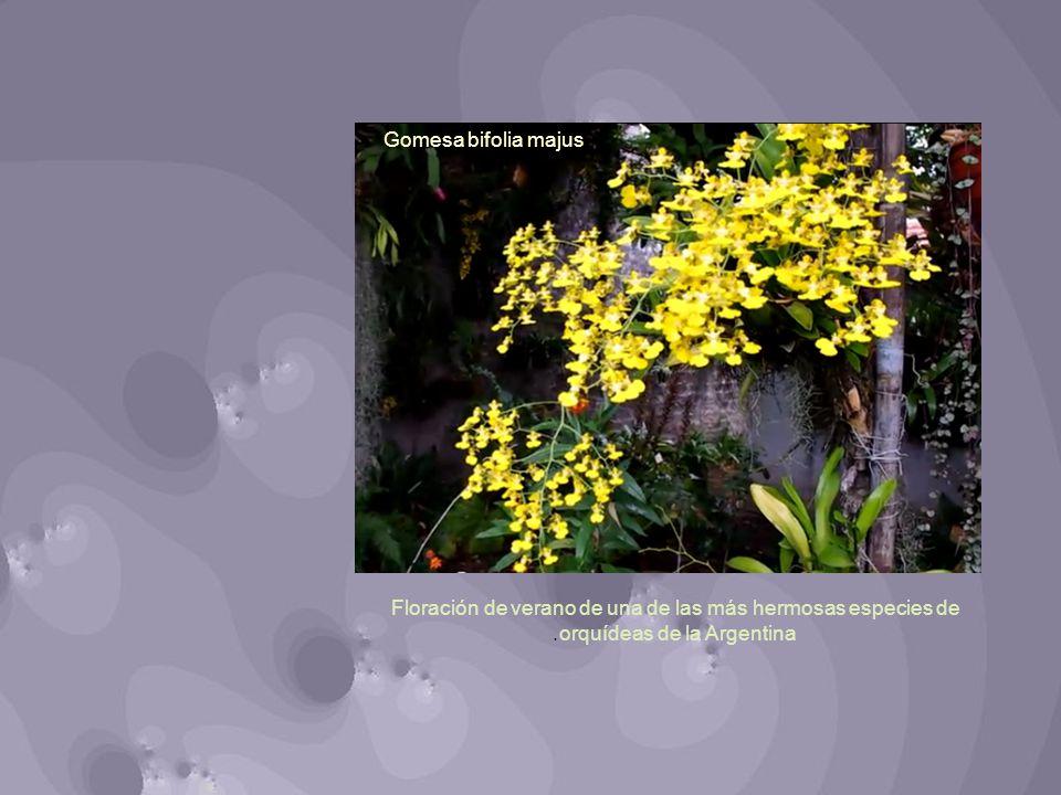 Gomesa bifolia majus Floración de verano de una de las más hermosas especies de orquídeas de la Argentina.