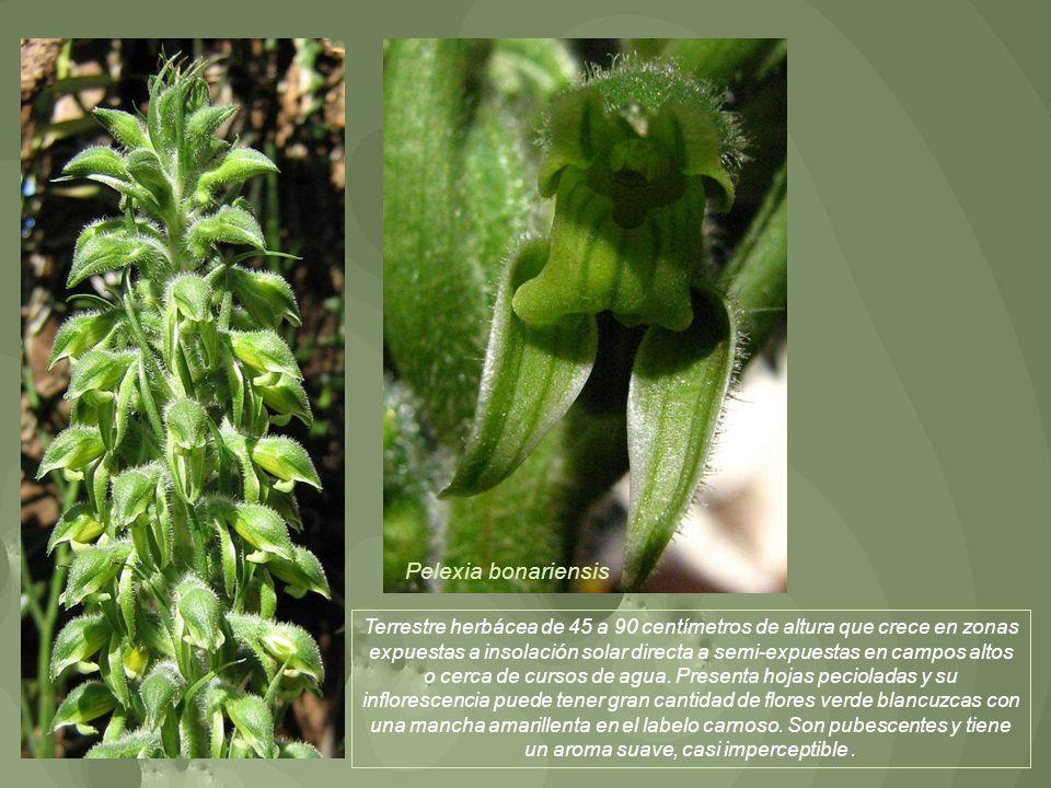 Pelexia bonariensis
