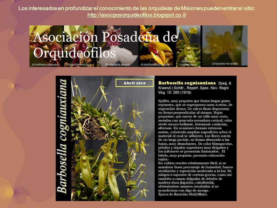 Los interesados en profundizar el conocimiento de las orquideas de Misiones pueden entrar el sitio: http://asocposorquideofilos.blogspot.co.il/