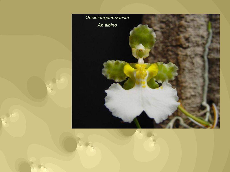 Oncinium jonesianum An albino