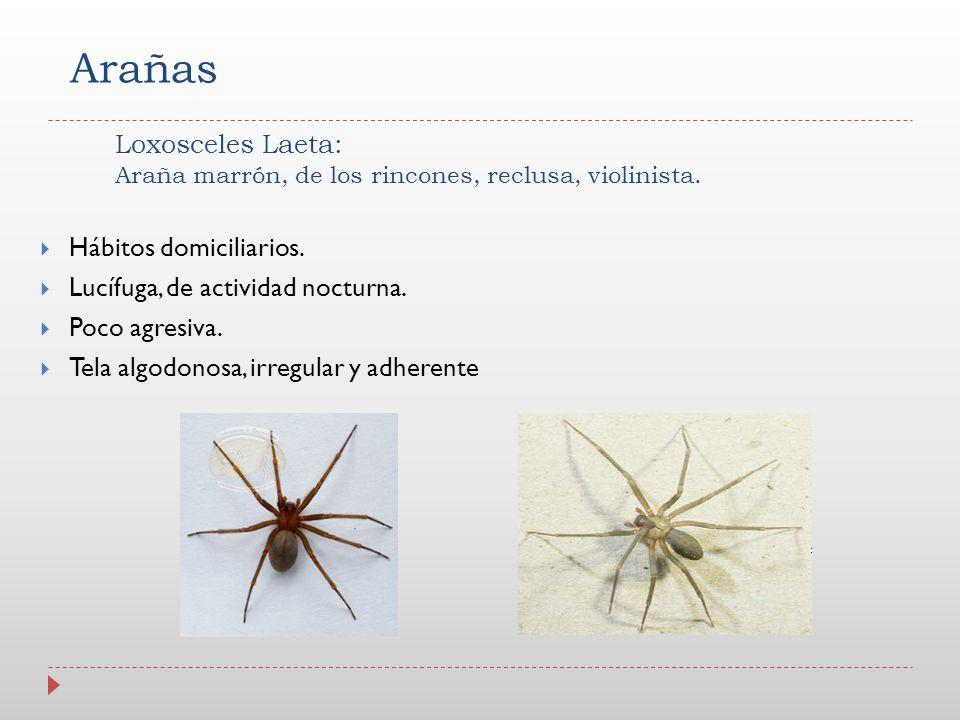 Loxosceles Laeta: Araña marrón, de los rincones, reclusa, violinista.