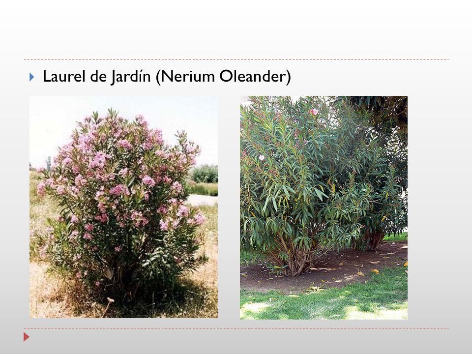 Laurel de Jardín (Nerium Oleander)