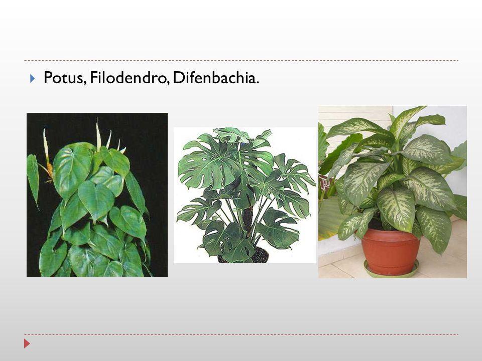 Potus, Filodendro, Difenbachia.