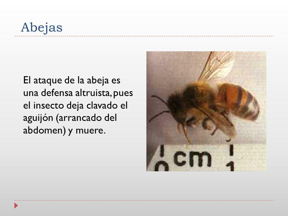 Abejas El ataque de la abeja es una defensa altruista, pues el insecto deja clavado el aguijón (arrancado del abdomen) y muere.