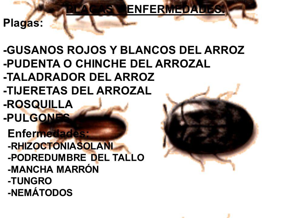 Plagas: -GUSANOS ROJOS Y BLANCOS DEL ARROZ