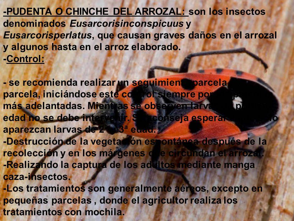 -PUDENTA O CHINCHE DEL ARROZAL: son los insectos denominados Eusarcorisinconspicuus y Eusarcorisperlatus, que causan graves daños en el arrozal y algunos hasta en el arroz elaborado.