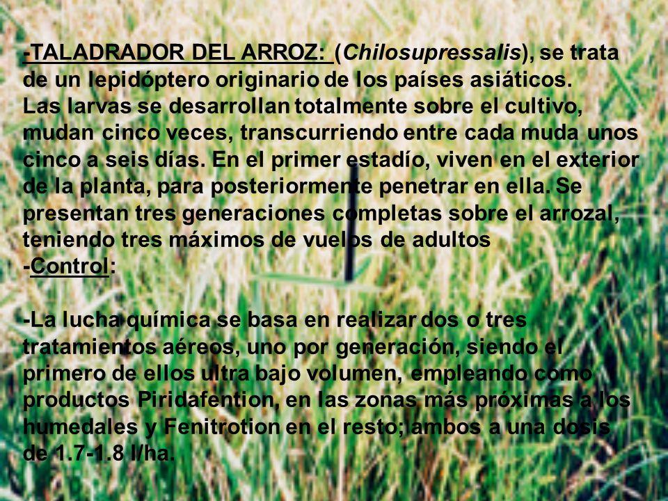 -TALADRADOR DEL ARROZ: (Chilosupressalis), se trata de un lepidóptero originario de los países asiáticos.