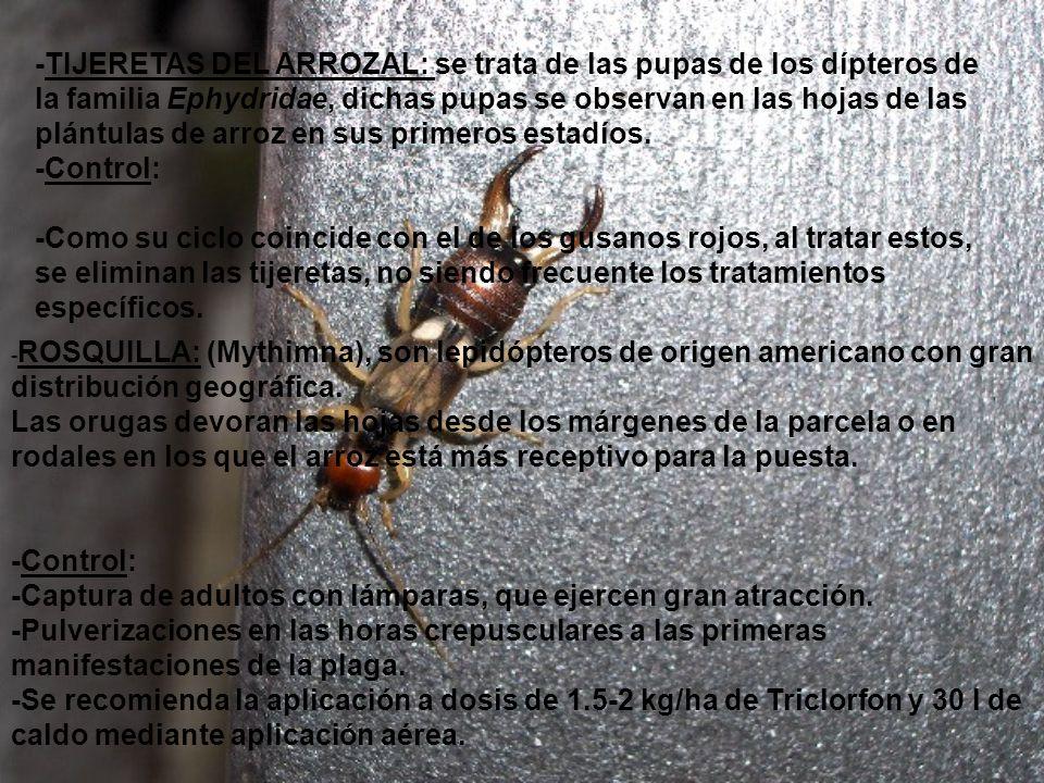 -TIJERETAS DEL ARROZAL: se trata de las pupas de los dípteros de la familia Ephydridae, dichas pupas se observan en las hojas de las plántulas de arroz en sus primeros estadíos.