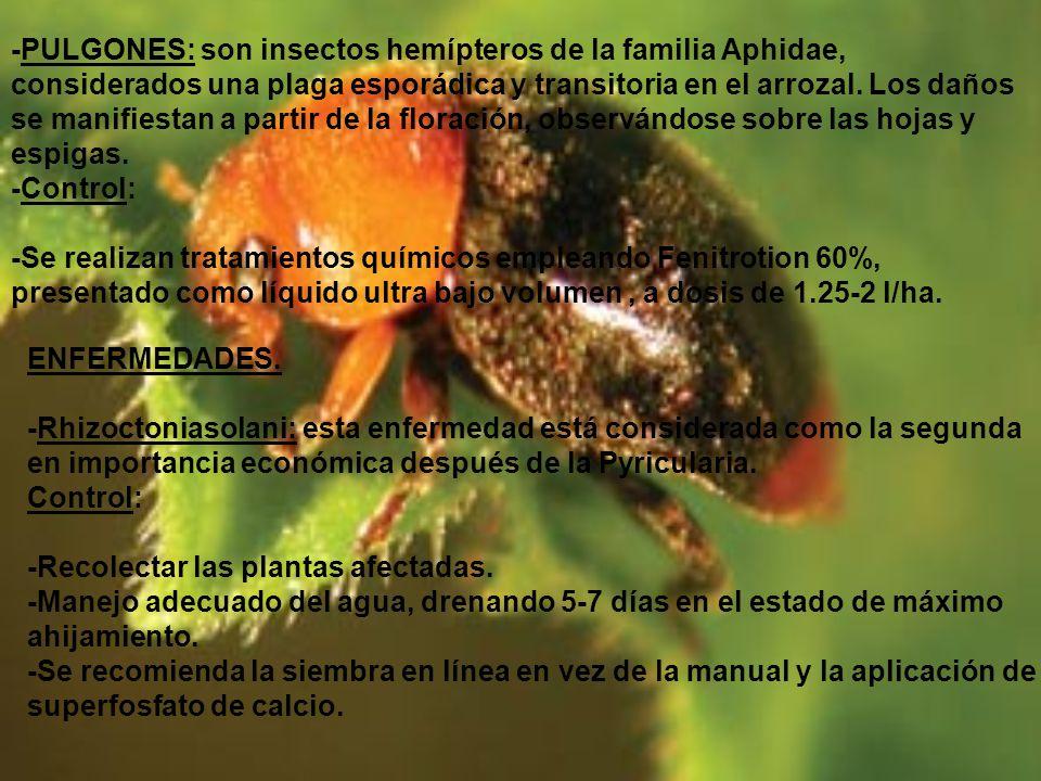 -PULGONES: son insectos hemípteros de la familia Aphidae, considerados una plaga esporádica y transitoria en el arrozal. Los daños se manifiestan a partir de la floración, observándose sobre las hojas y espigas.