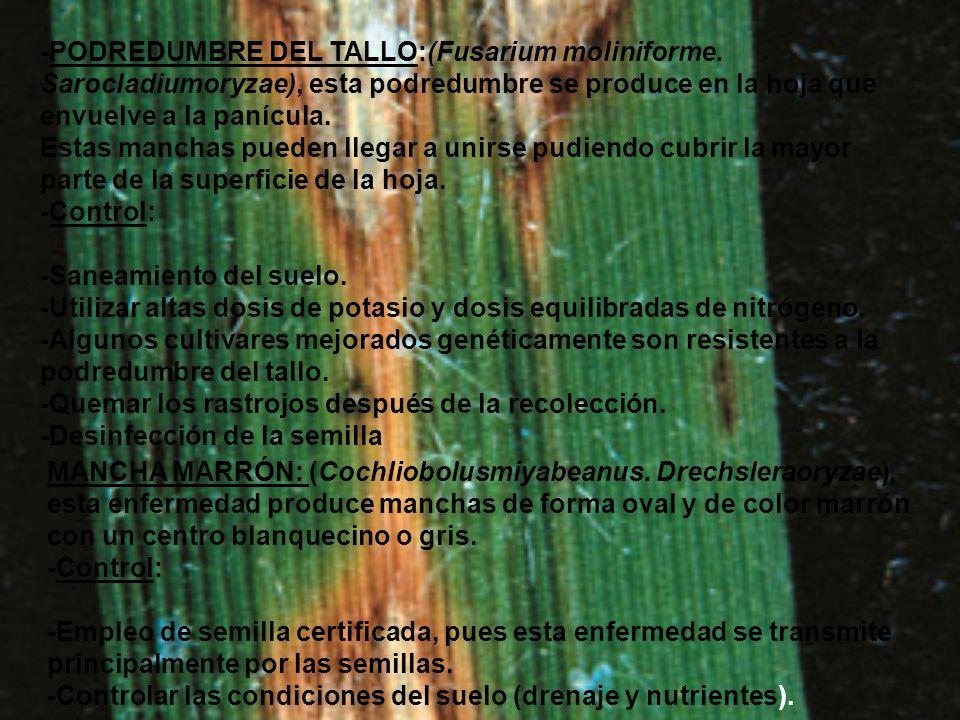 -PODREDUMBRE DEL TALLO:(Fusarium moliniforme