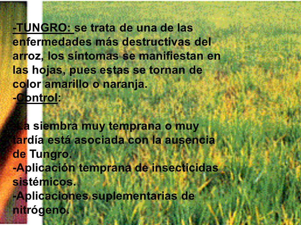 -TUNGRO: se trata de una de las enfermedades más destructivas del arroz, los síntomas se manifiestan en las hojas, pues estas se tornan de color amarillo o naranja.