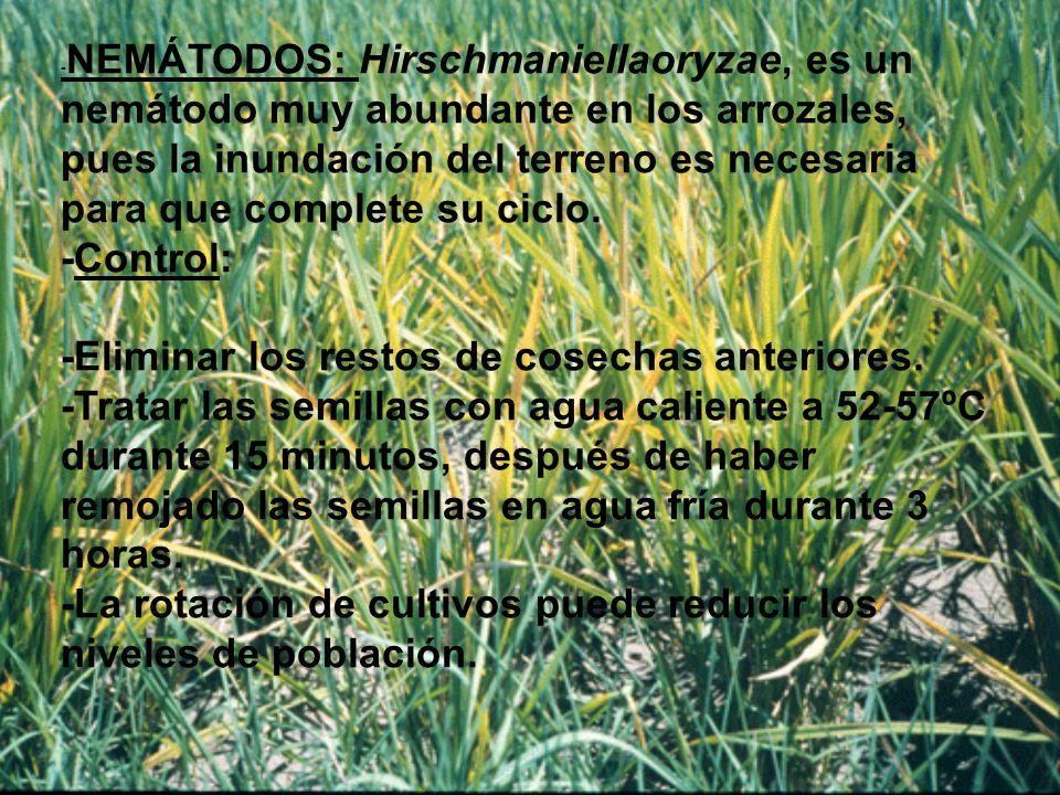 -NEMÁTODOS: Hirschmaniellaoryzae, es un nemátodo muy abundante en los arrozales, pues la inundación del terreno es necesaria para que complete su ciclo.