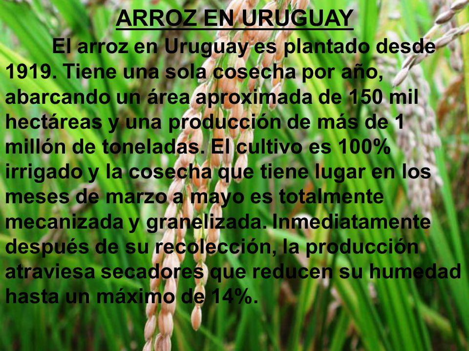 ARROZ EN URUGUAY