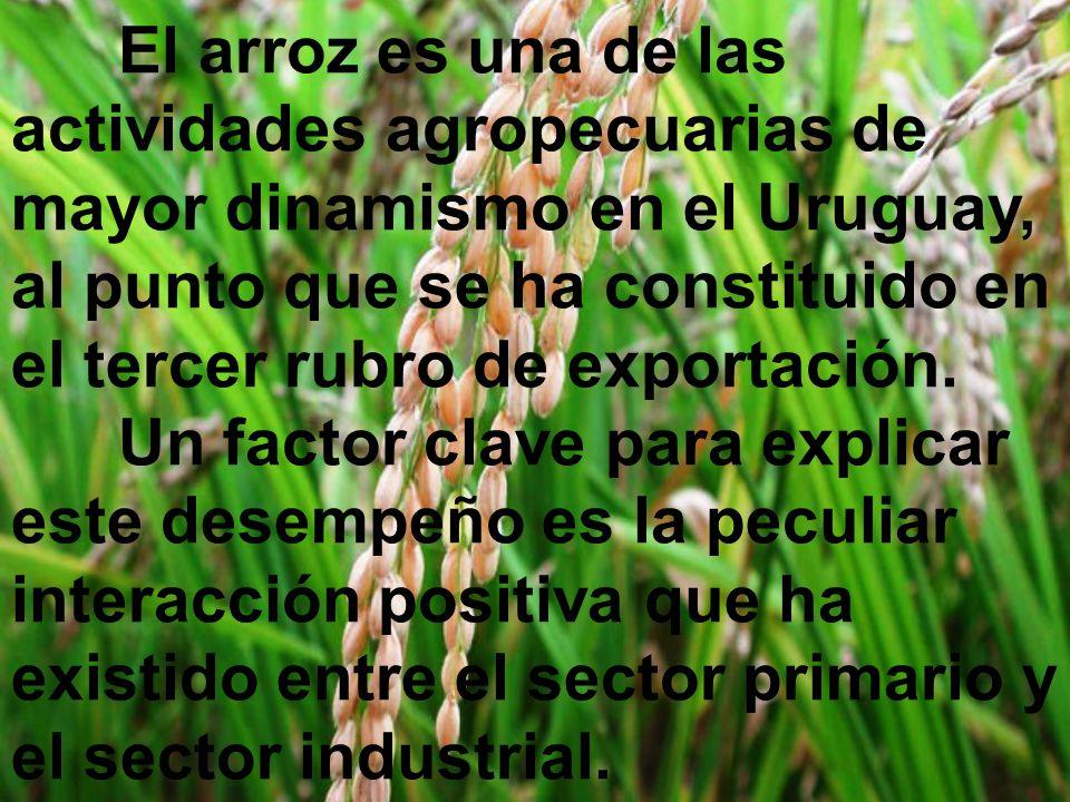 El arroz es una de las actividades agropecuarias de mayor dinamismo en el Uruguay, al punto que se ha constituido en el tercer rubro de exportación.