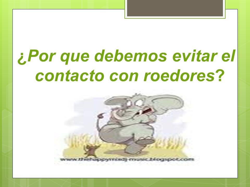 ¿Por que debemos evitar el contacto con roedores