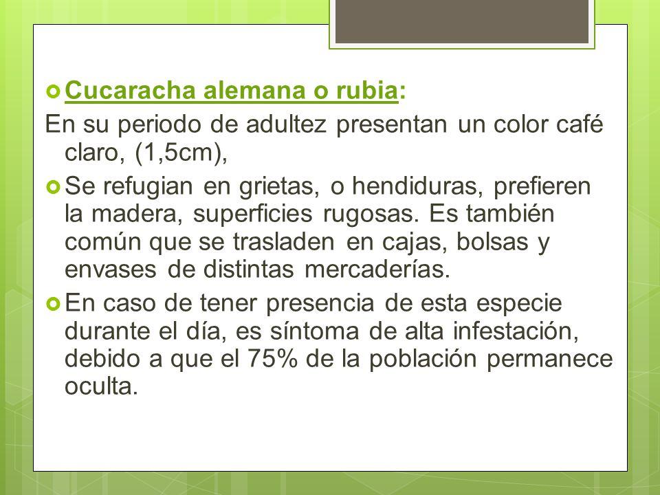 Cucaracha alemana o rubia: