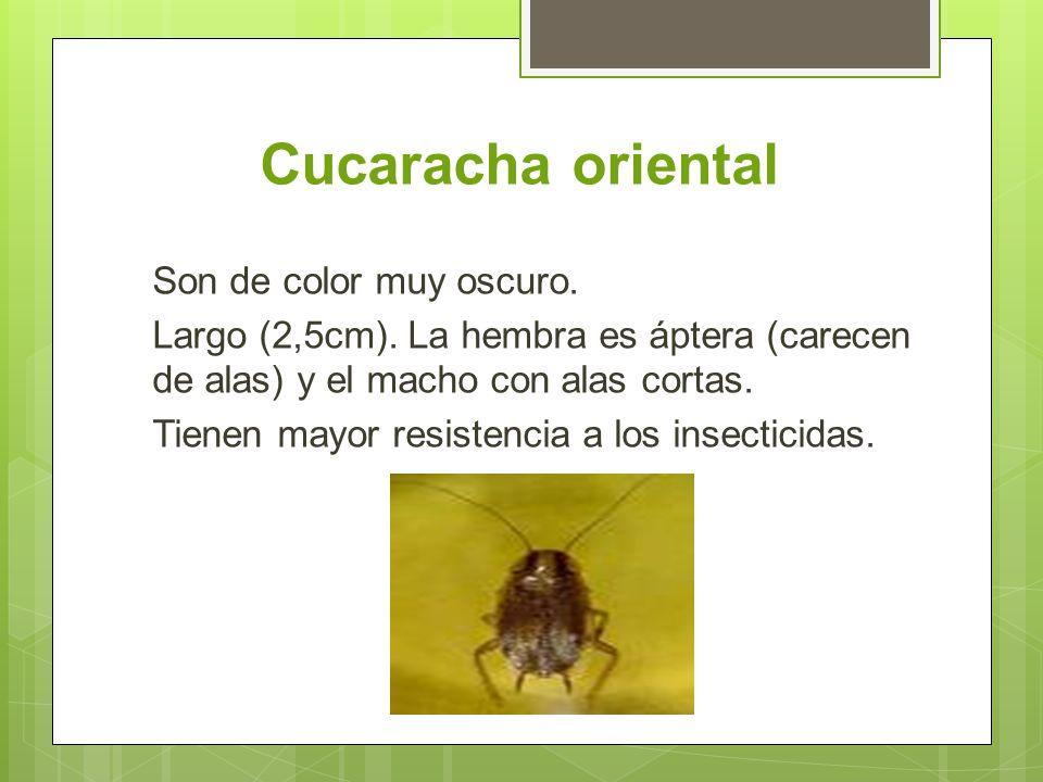 Cucaracha oriental Son de color muy oscuro. Largo (2,5cm). La hembra es áptera (carecen de alas) y el macho con alas cortas.