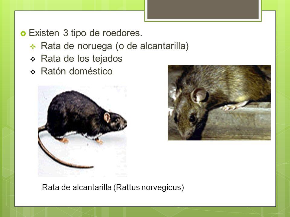 Rata de alcantarilla (Rattus norvegicus)