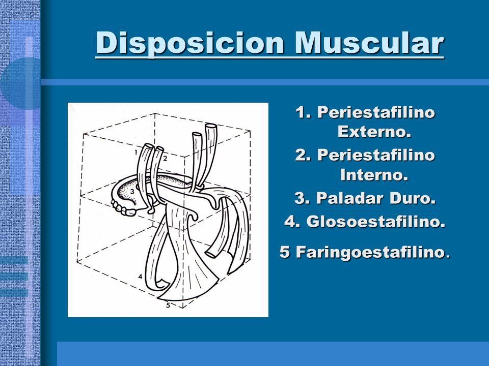 Disposicion Muscular 1. Periestafilino Externo.