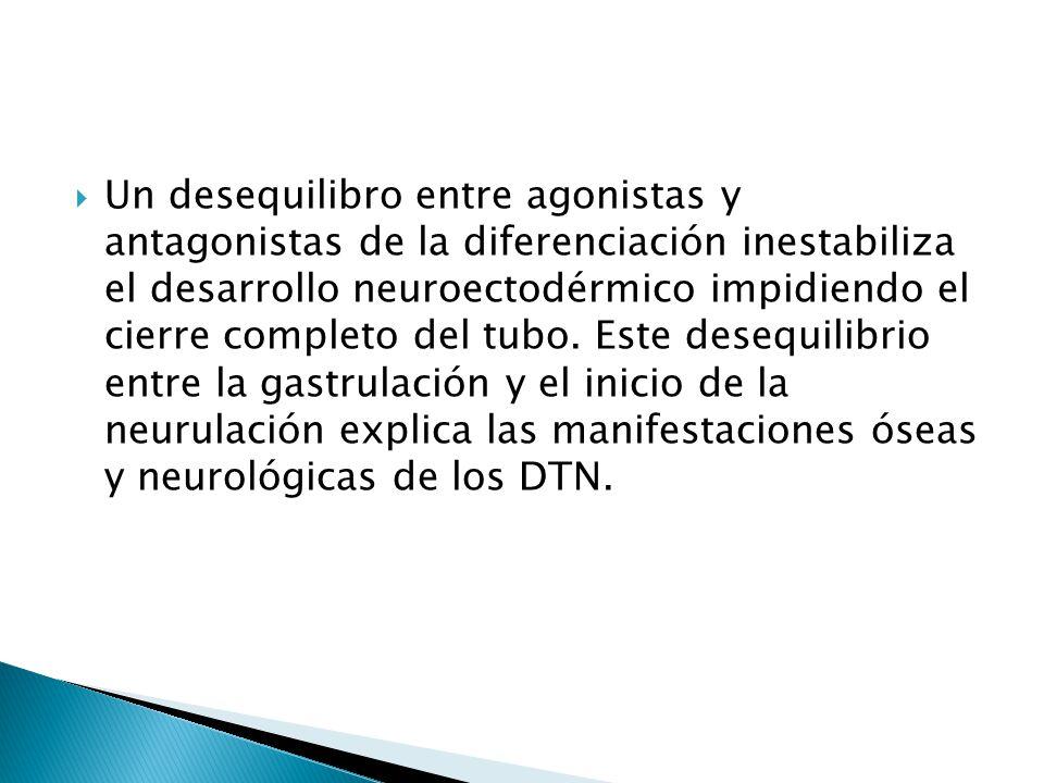 Un desequilibro entre agonistas y antagonistas de la diferenciación inestabiliza el desarrollo neuroectodérmico impidiendo el cierre completo del tubo.