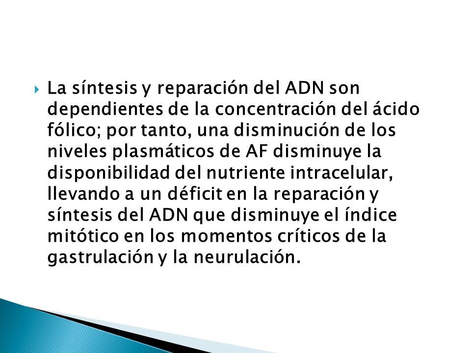 La síntesis y reparación del ADN son dependientes de la concentración del ácido fólico; por tanto, una disminución de los niveles plasmáticos de AF disminuye la disponibilidad del nutriente intracelular, llevando a un déficit en la reparación y síntesis del ADN que disminuye el índice mitótico en los momentos críticos de la gastrulación y la neurulación.