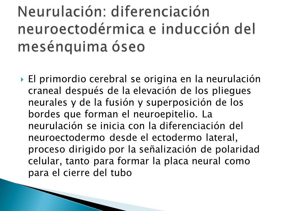 Neurulación: diferenciación neuroectodérmica e inducción del mesénquima óseo