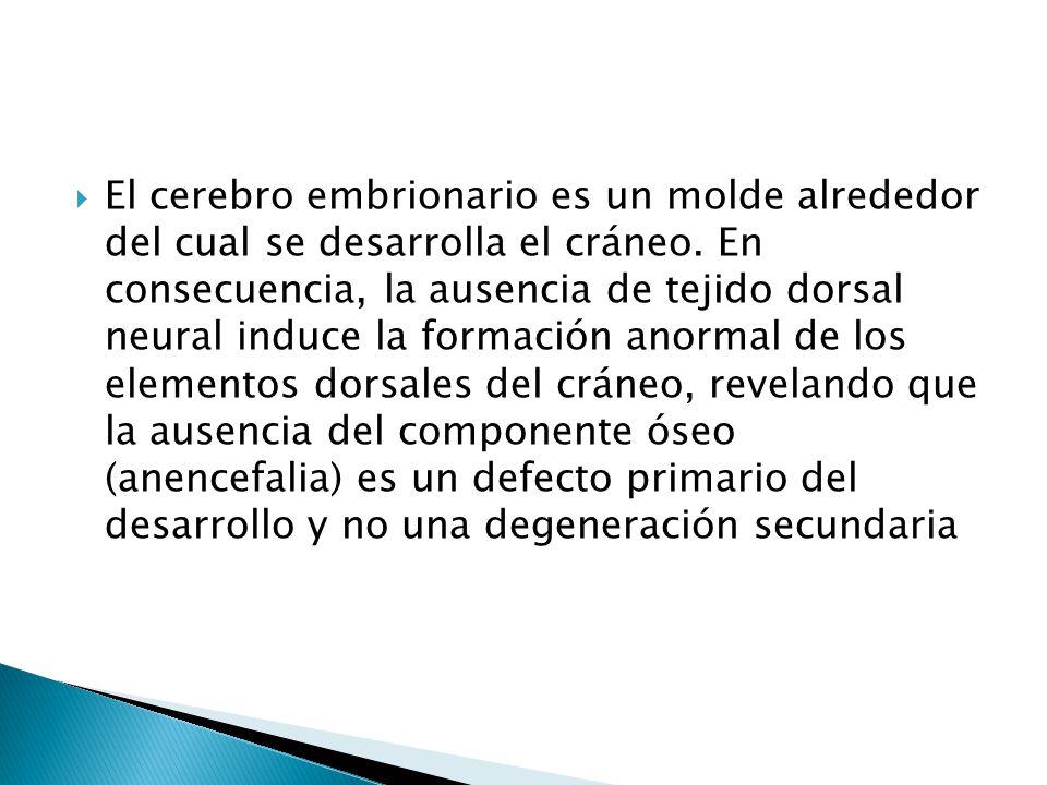 El cerebro embrionario es un molde alrededor del cual se desarrolla el cráneo.