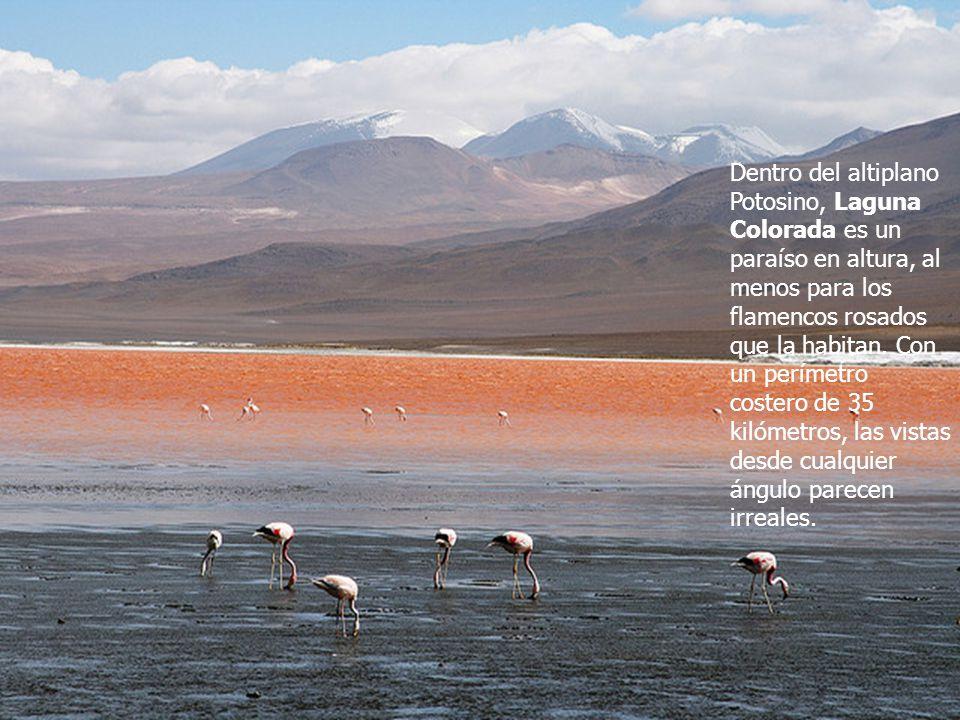 Dentro del altiplano Potosino, Laguna Colorada es un paraíso en altura, al menos para los flamencos rosados que la habitan.