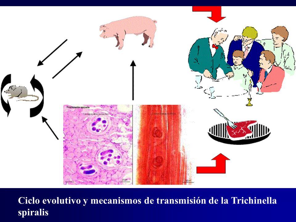 Ciclo evolutivo y mecanismos de transmisión de la Trichinella spiralis