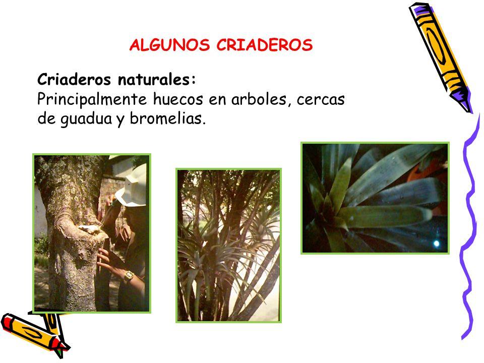 ALGUNOS CRIADEROS Criaderos naturales: Principalmente huecos en arboles, cercas de guadua y bromelias.