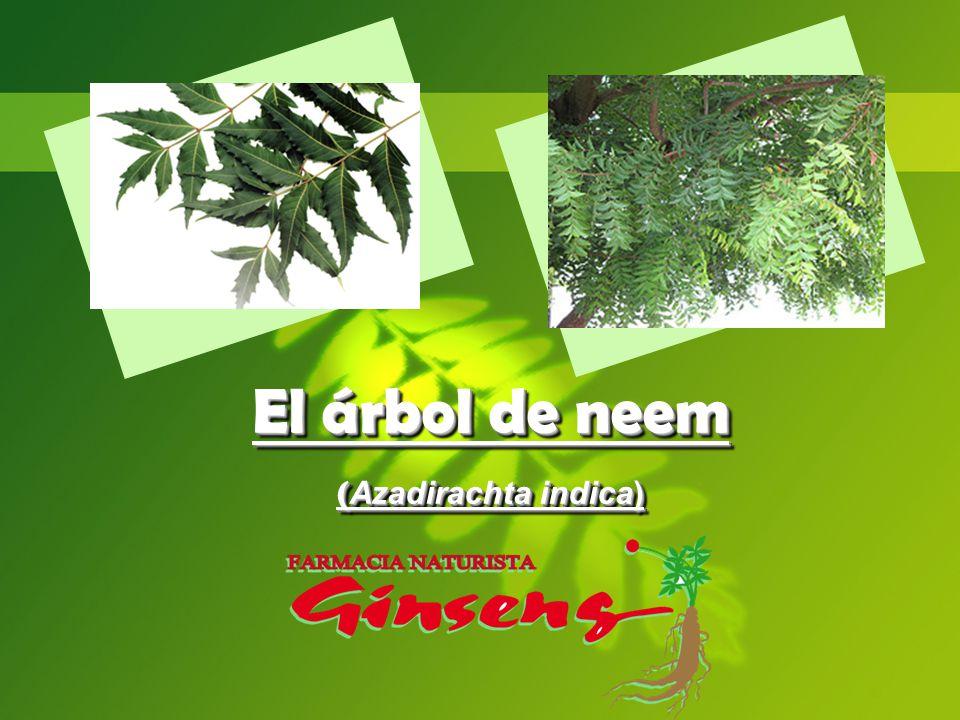 El árbol de neem (Azadirachta indica)