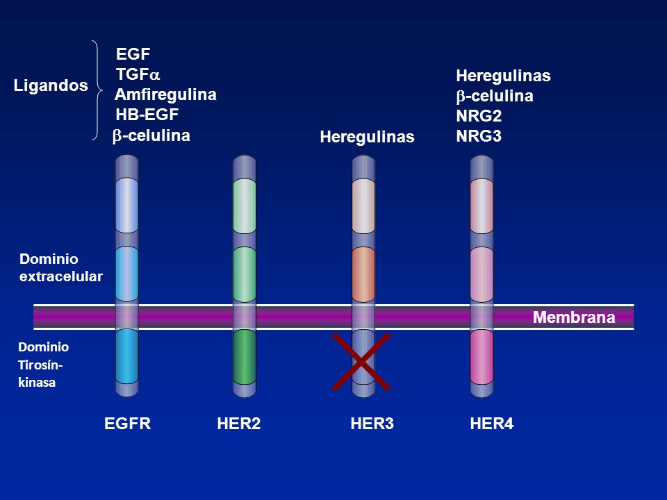 b-celulina EGF TGFa Amfiregulina HB-EGF Heregulinas -celulina NRG2