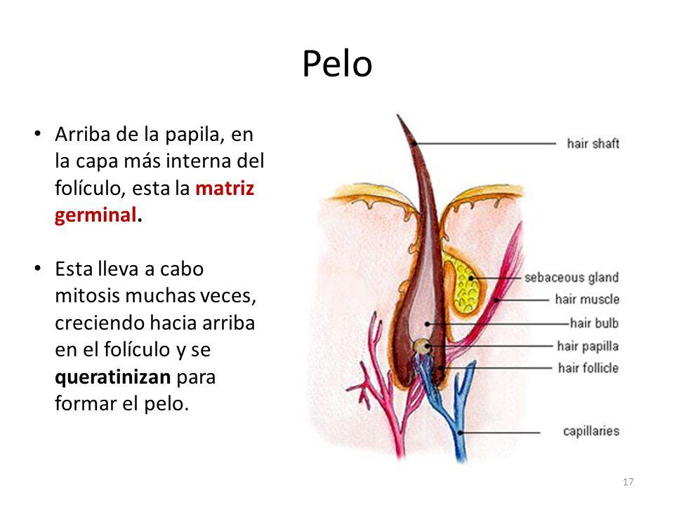 Pelo Arriba de la papila, en la capa más interna del folículo, esta la matriz germinal.