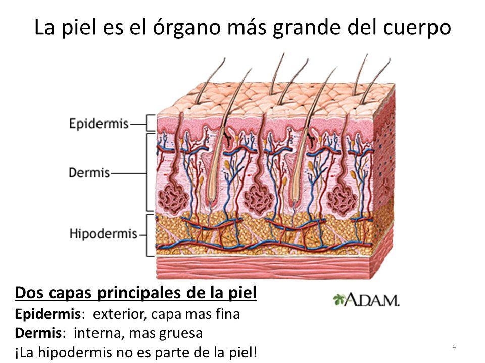 La piel es el órgano más grande del cuerpo
