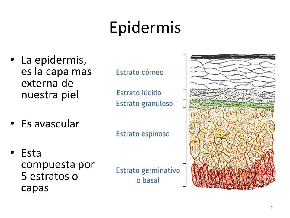 Epidermis La epidermis, es la capa mas externa de nuestra piel