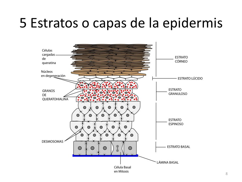 5 Estratos o capas de la epidermis