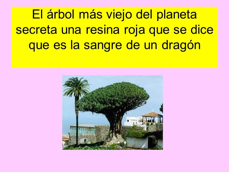 El árbol más viejo del planeta secreta una resina roja que se dice que es la sangre de un dragón